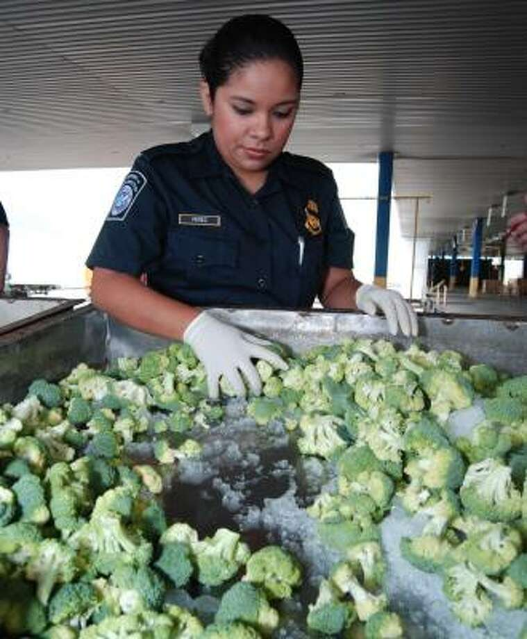 Agriculture specialist Veronica Perez of U.S. Customs and Border Protection examines broccoli at Laredo's World Trade Bridge. Photo: CUATE SANTOS, LAREDO MORNING TIMES