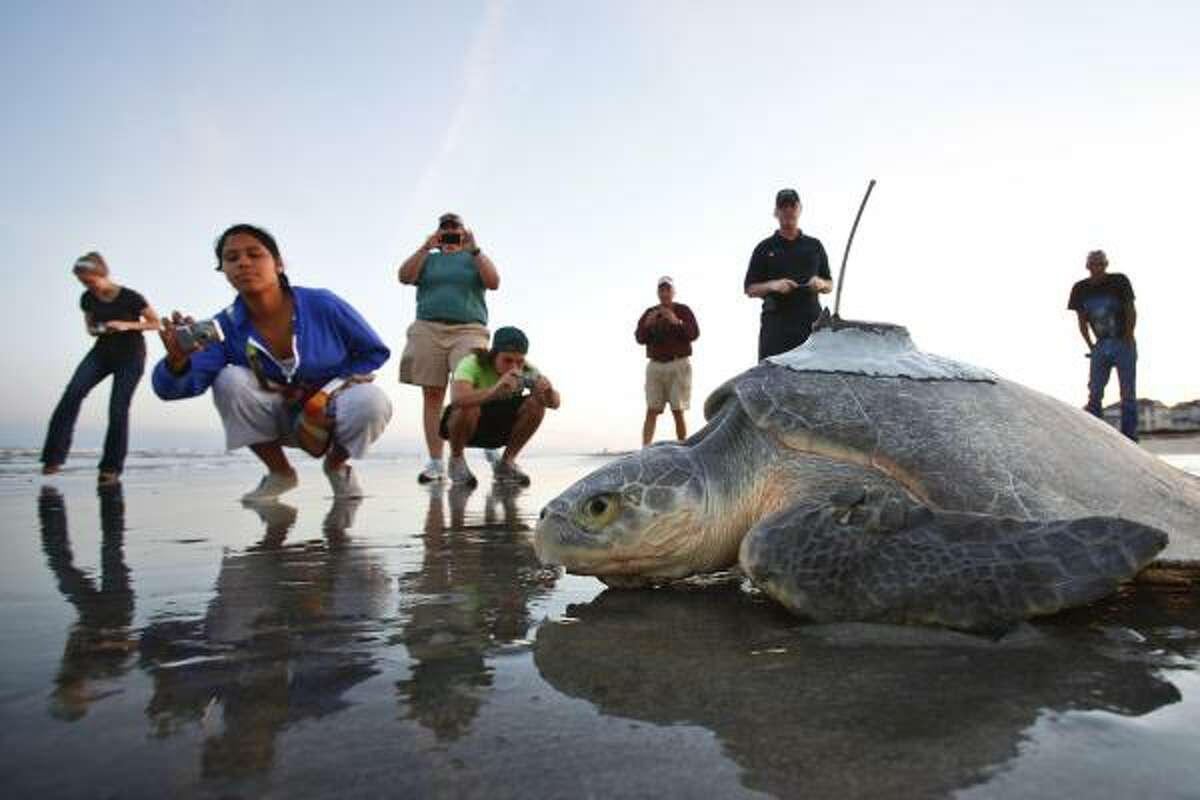 Texas' official sea turtle is on a slide that could eventually lead to extinction after a spectacular comeback and years of effort to save it, according to figures released Tuesday at a gathering of scientists and environmentalists. Photos: The endangered and threatened animal species of Texas ...