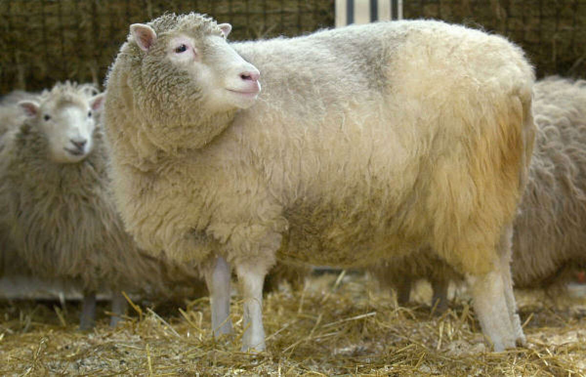 Dolly the sheep The first cloned sheep was born in Edinburgh.