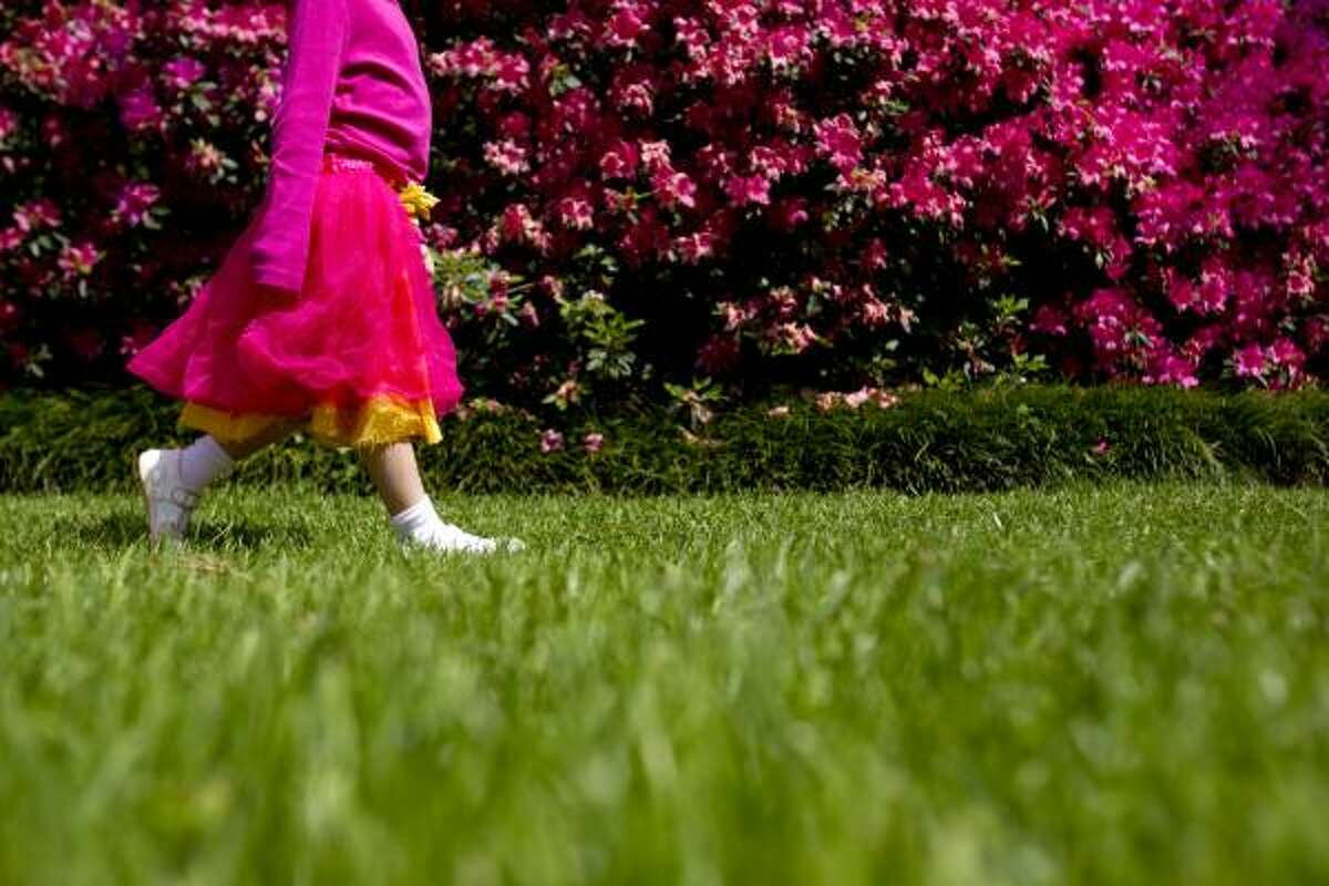 Wearing her favorite tutu, Ivy Saunders, 4, walks past a group of azaleas in bloom at The Museum of Fine Arts Houston Bayou Bend Collection and Gardens Tuesday, March 22, 2011, in Houston. The azalea blooming period generally lasts between two to three weeks. Kathy Huber, Chronicle garden writer, said we are at the end of the peak blooming period.