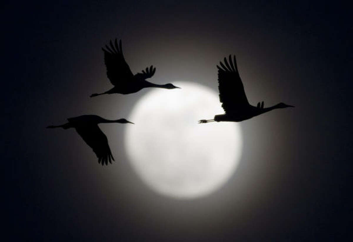 Sandhill cranes fly in front a 95% full moon, near Alda, Neb.