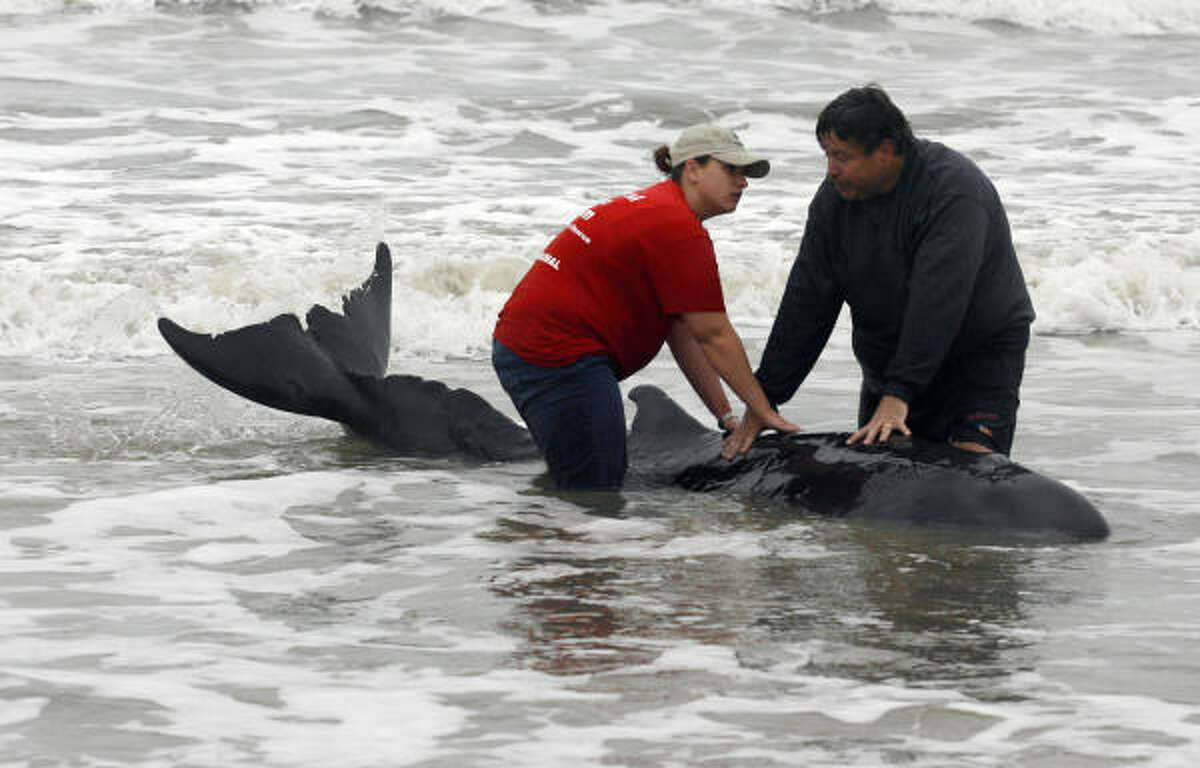 Keith Wilkins, right, and a member of the Texas Marine Mammal Stranding Network keep a pygmy sperm whale stabilized in the surf on the West End of Galveston, Wednesday, Feb. 23, 2011. Wilkins and his daughter, Allison, of Forney, Texas, discovered the beached whale during a walk on the beach. The whale was later euthanized to end its suffering.