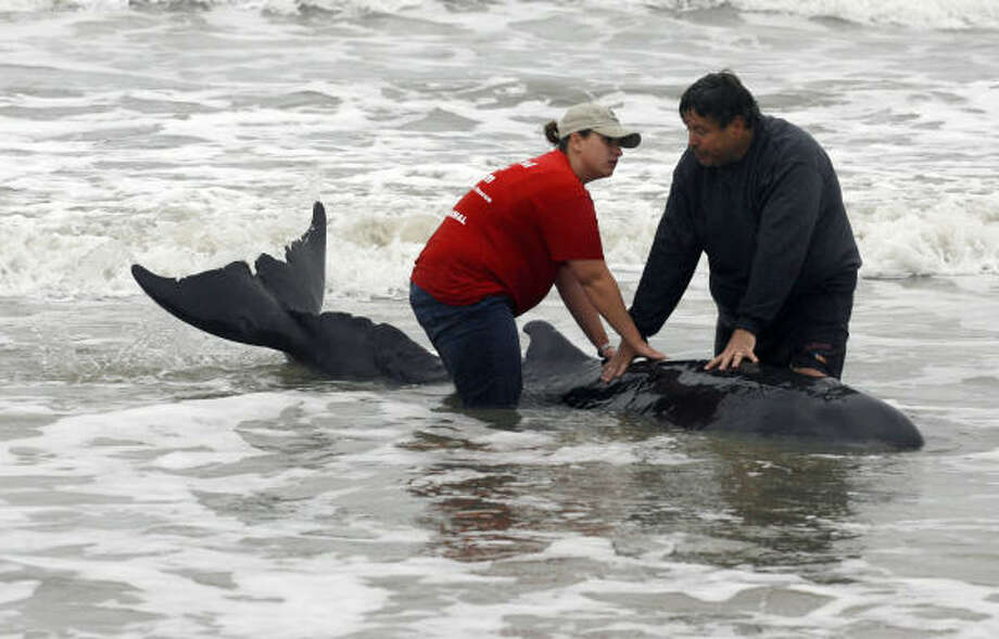 Keith Wilkins, right, and a member of the Texas Marine Mammal Stranding Network keep a pygmy sperm whale stabilized in the surf on the West End of Galveston, Wednesday, Feb. 23, 2011. Wilkins and his daughter, Allison, of Forney, Texas, discovered the beached whale during a walk on the beach. The whale was later euthanized to end its suffering. Photo: Jennifer Reynolds, AP