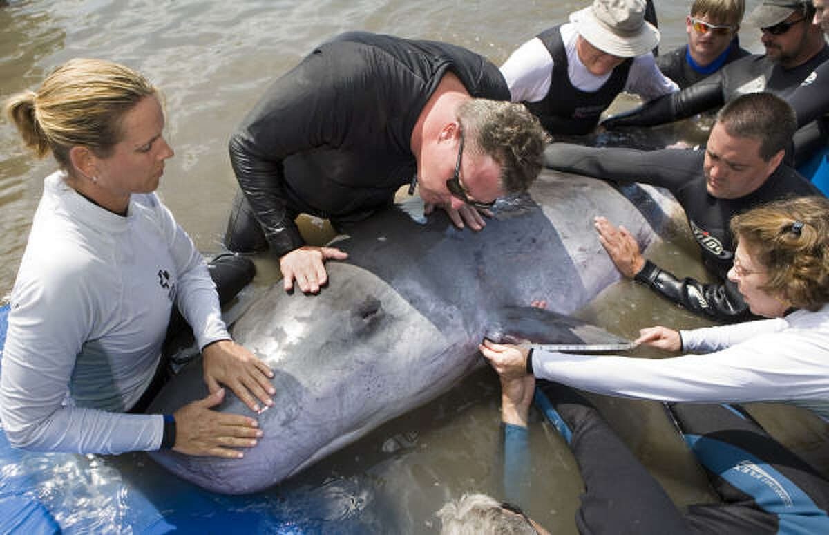 Marine mammal rescue volunteers help to calm a pygmy sperm whale at the Marine Mammal Conservancy in Key Largo, Fla in 2008. The 10-foot-long male, estimated to weigh 1,000 pounds, was discovered stranded off the Florida Keys.