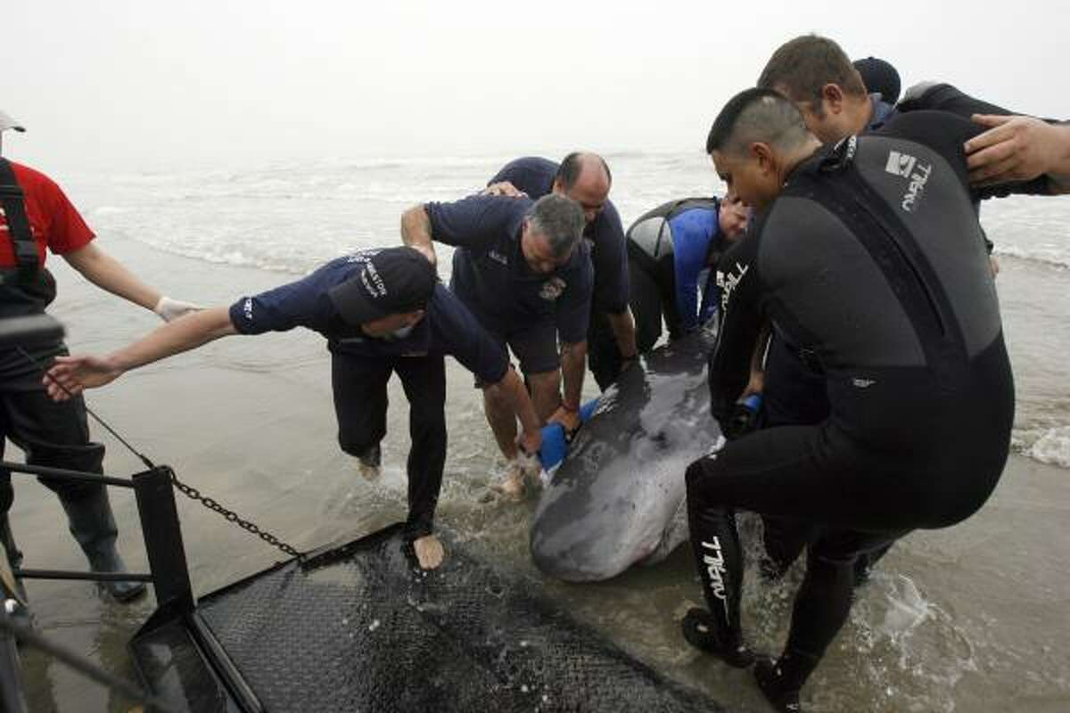 Galveston and Jamaica Beach firefighters and bystanders help members of the Texas Marine Mammal Stranding Network move a pygmy sperm whale that beached on the West End of Galveston. The whale was later euthanized to end its suffering.