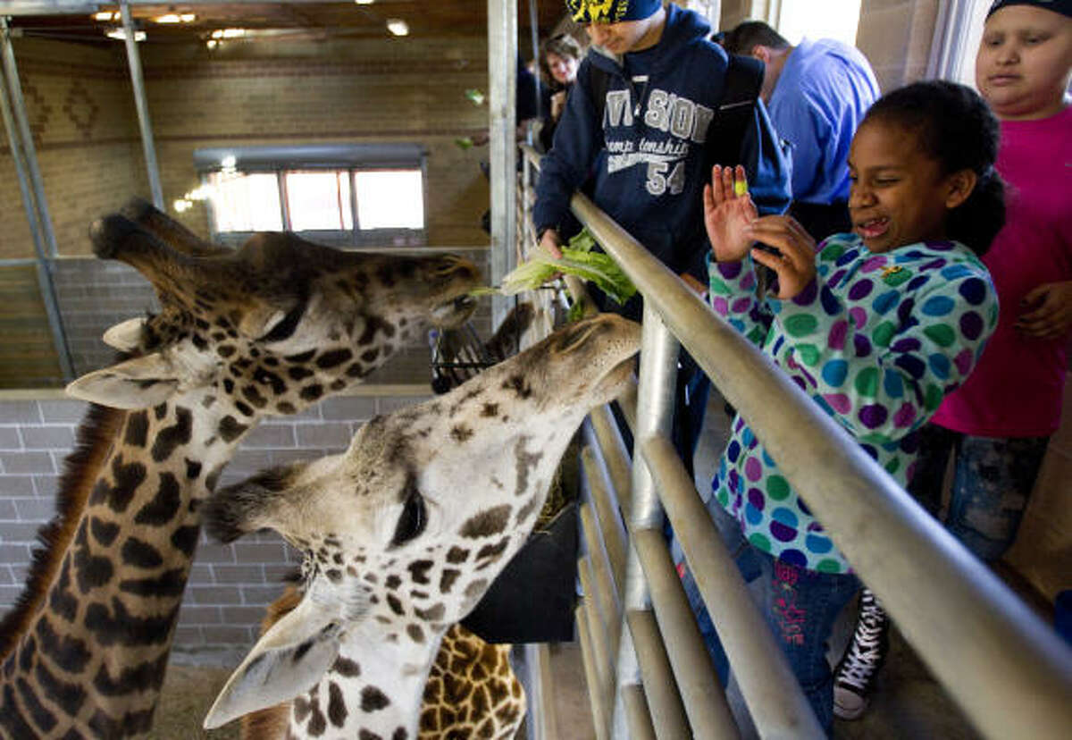 Alysia Guerrero, 10, of Corpus Christi, reacts as a giraffe tries to sniff out lettuce from her as she and a group of young patients and artists from M.D. Anderson Cancer Center Children's Art Project visited the zoo Thursday, Jan. 27, 2011, in Houston. The children brought heart-shaped piñatas that ere filled with food and placed into the animal exhibits. The children were then treated to a close encounter with giraffes inside the new giraffe barn.