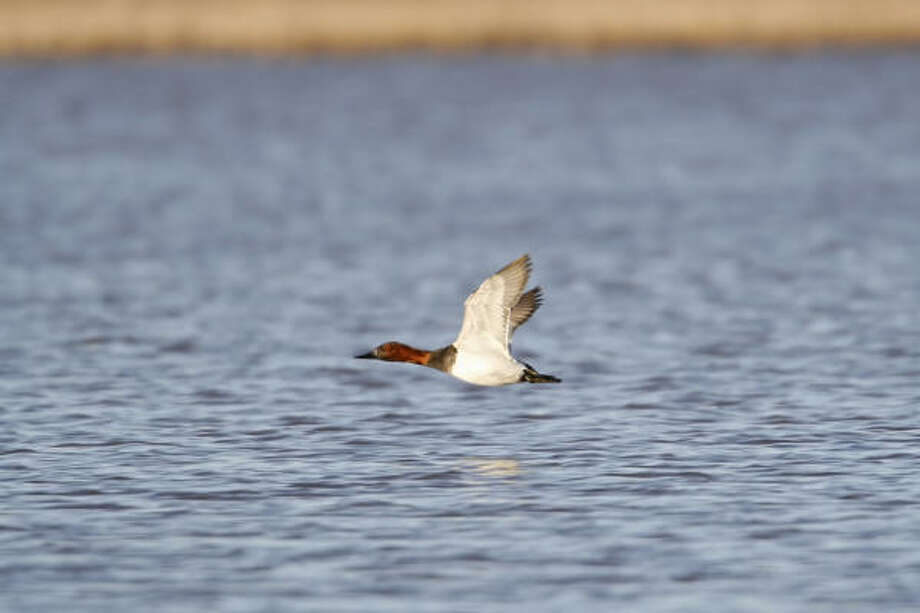 With a top-end speed in the neighborhood of 70 mph, canvasbacks are North America's fastest duck. Photo: Michael Furtman, For The Chronicle