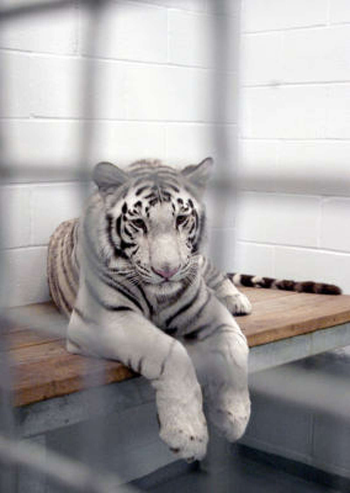 Marina, one of the four rare white tigers atHouston's Downtown Aquarium, is seen in 2008. Landry's, which owns theAquarium, has sued a California-based animal rights group over allegations about the tigers' living conditions.