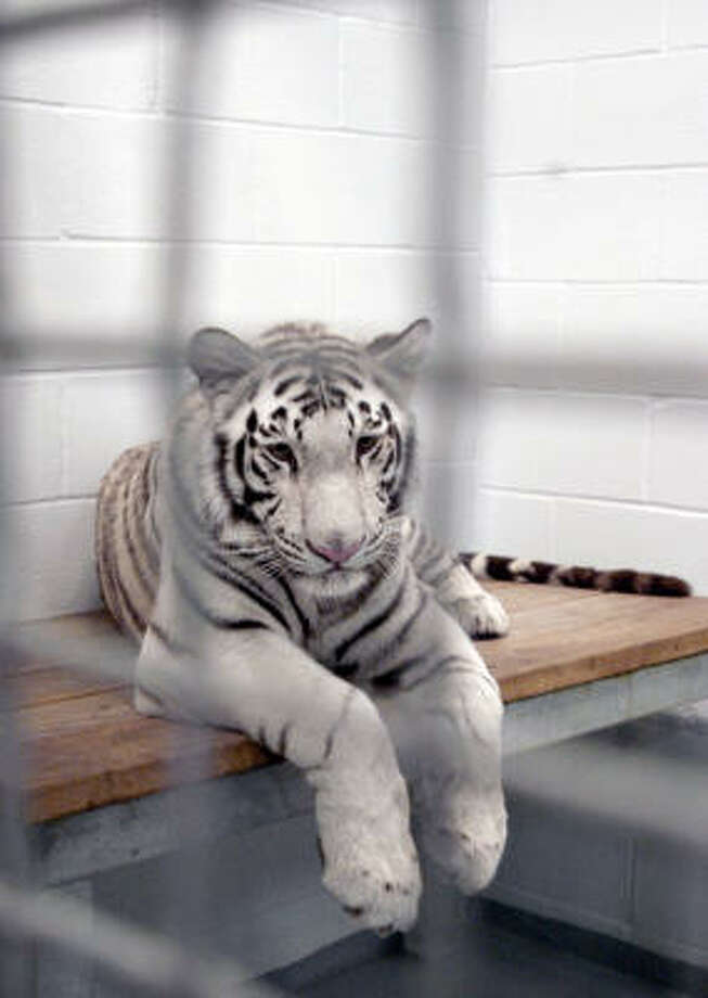 Marina, one of Houston's Downtown Aquarium's four rare white tigers, is seen in a photo from 2008. Photo: PAT SULLIVAN, AP