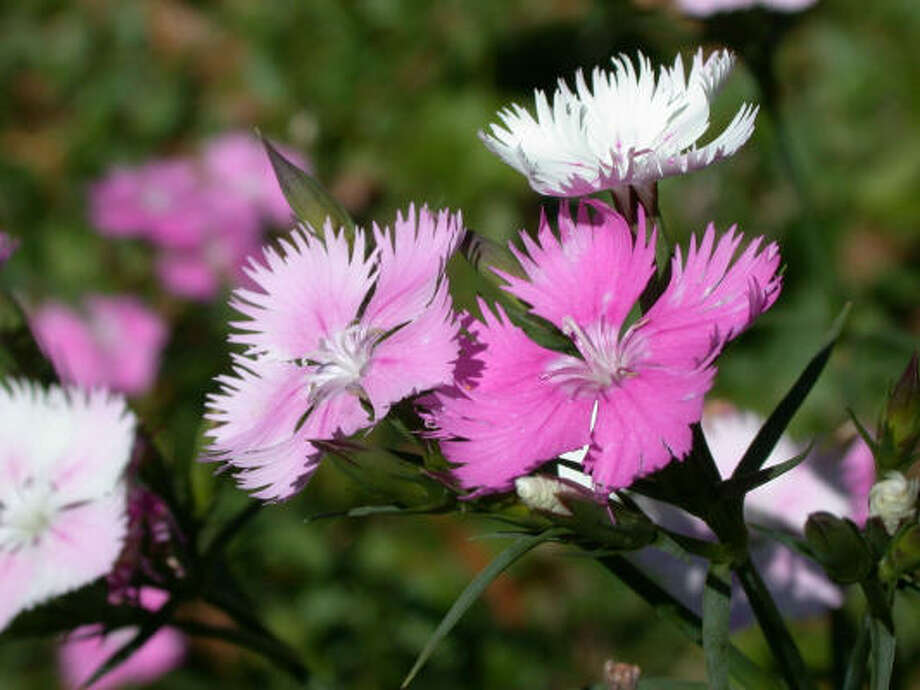 Dianthus. Photo: Mercer Arboretum