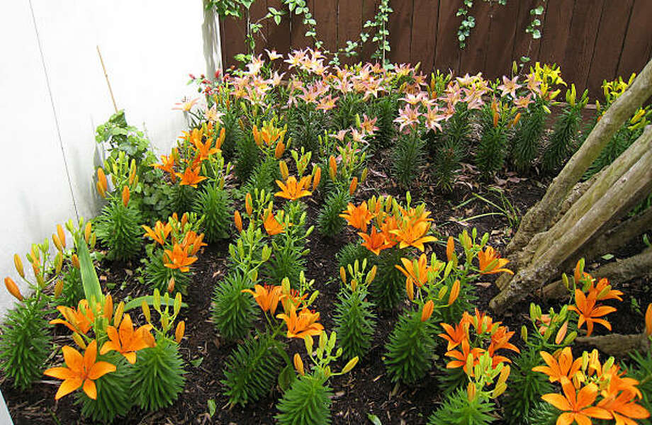 la lilies in gay estes garden photo gay estes - Houston Garden