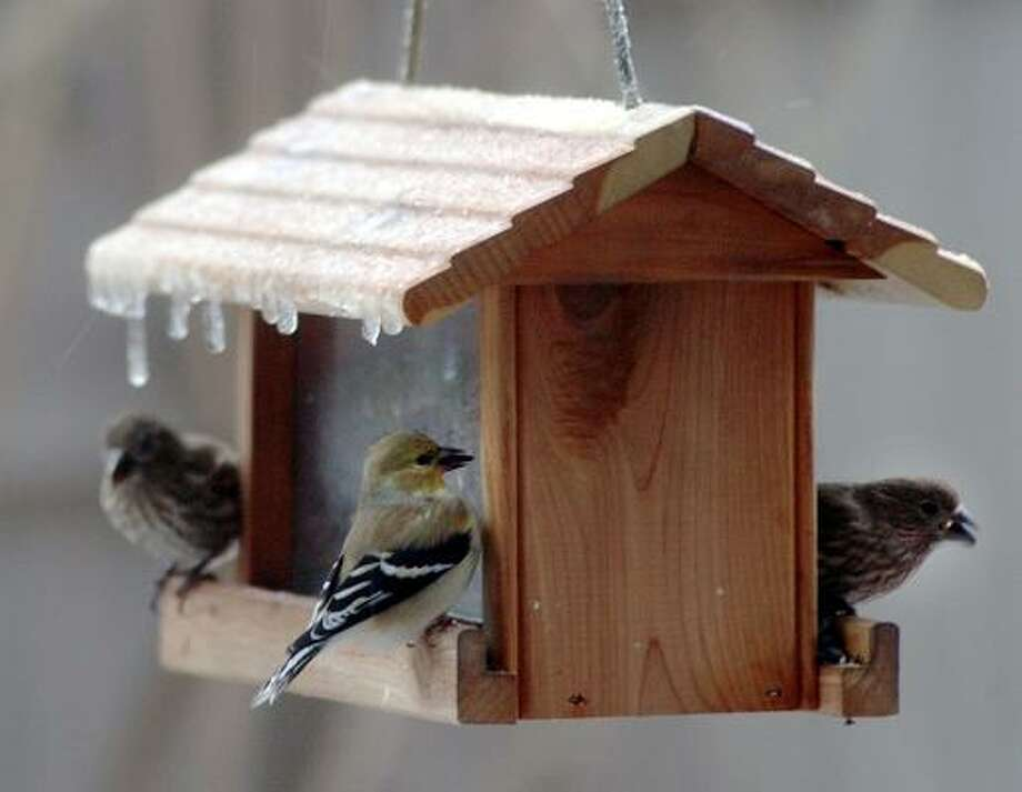 House finches eat sunflower seeds under an ice-covered bird feeder in Monroe Township, Pa., during  ice storm in February 2008. Photo: Mark Moran, AP