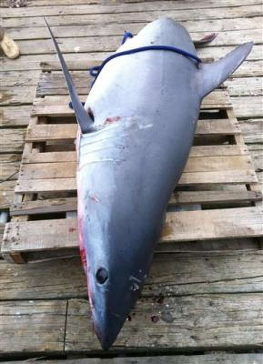 Jason Kresse of Freeport said he and his crew couldn't get close to the 375-pound fish to toss it back in the water. It damaged the boat before dying several hours later.