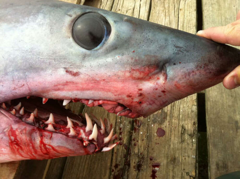 The 375-pound, 8-foot long mako shark in Freeport apparently been in a rush to feed. Photo: AP