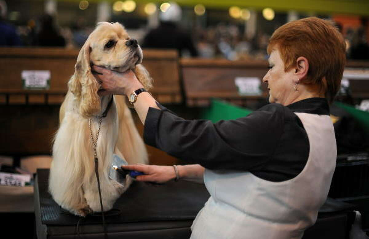 An American Cocker Spaniel sits for grooming.