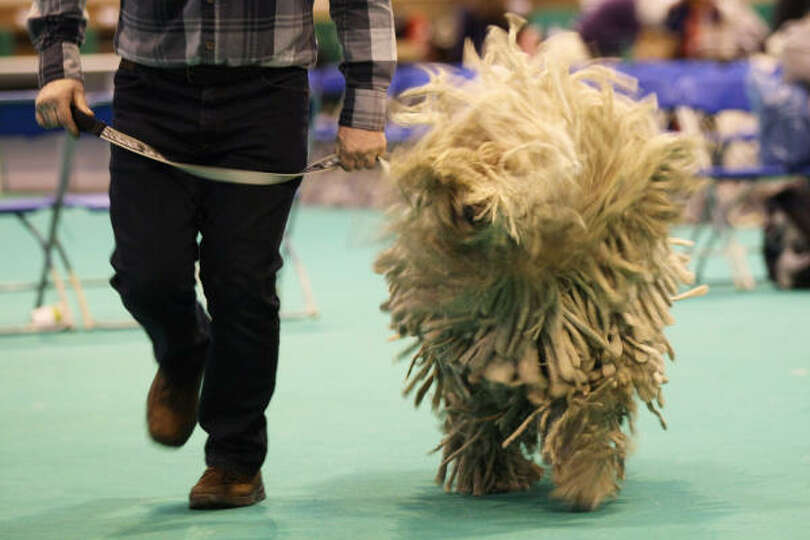 A Komondor shakes as it is judged on the second day of the annual Crufts dog show.