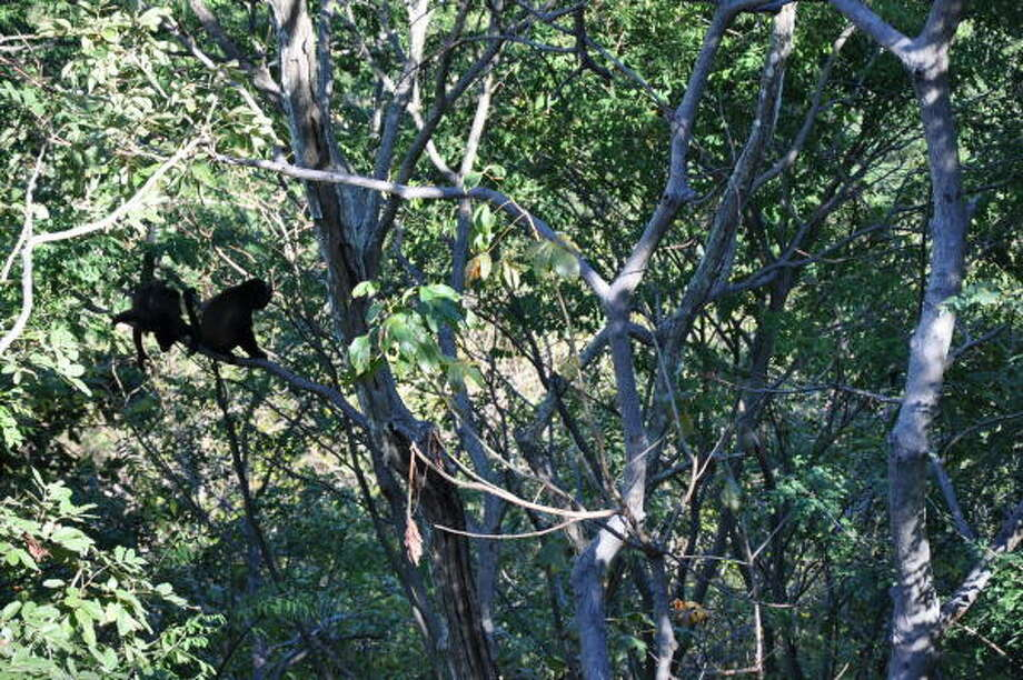 Howler monkeys greet visitors with guttural grunts in the forest of Guanacaste, Costa Rica. Photo: Melissa Ward Aguilar, Staff