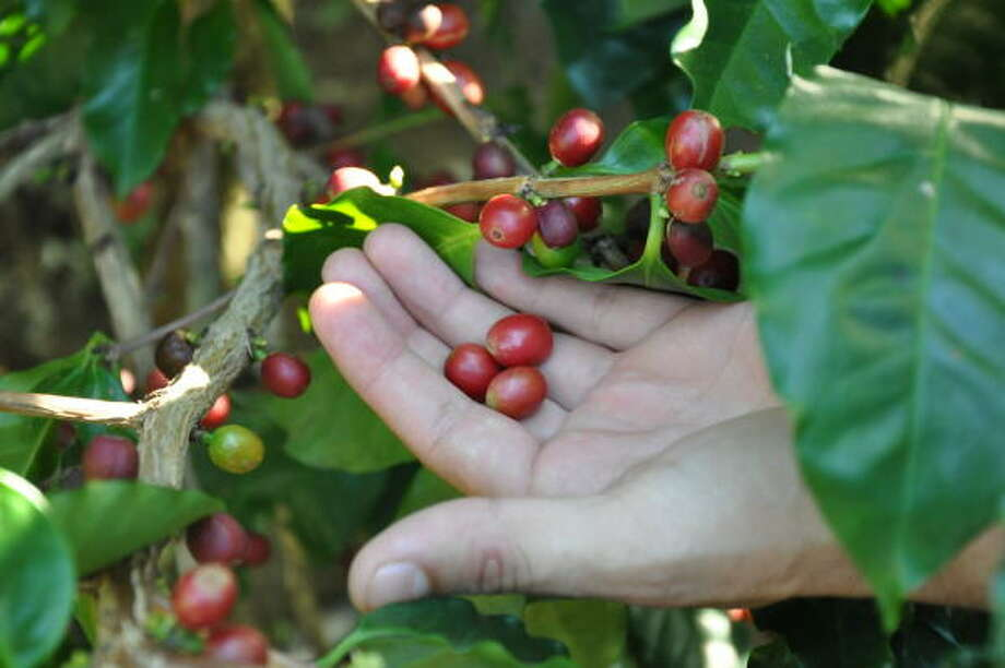 Coffee beans are grown in the shade at Díria Coffee Plantation in Guanacaste, Costa Rica. Photo: Melissa Ward Aguilar, Staff