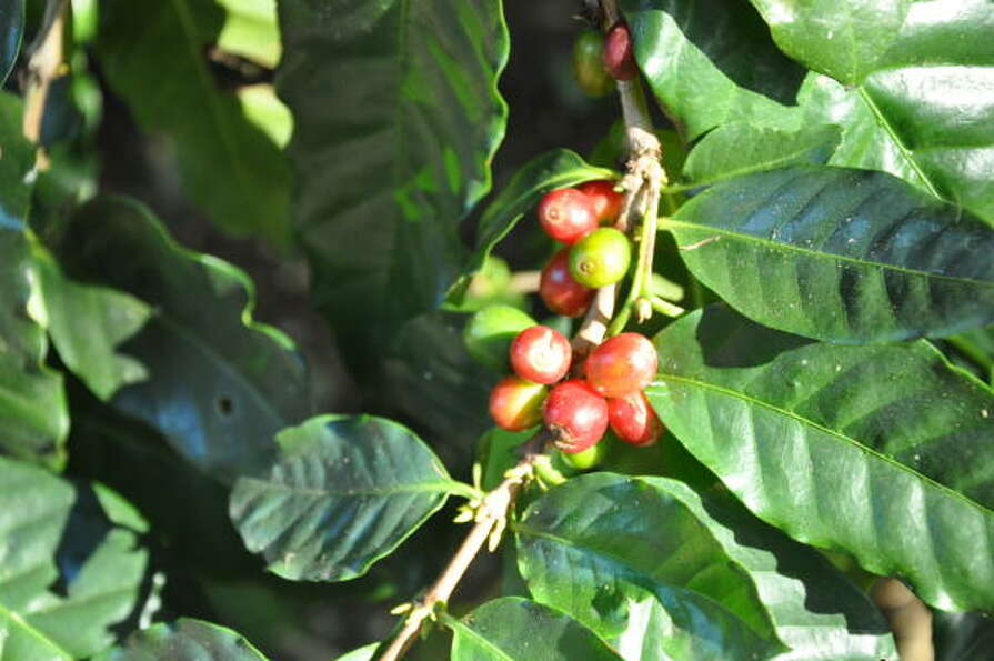 Coffee beans are grown in the shade at Díria Coffee Plantation in Guanacaste, Costa Rica.