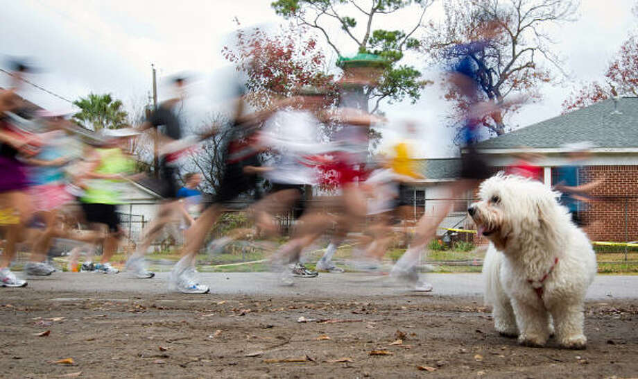 A spectator's dog takes in the action as runners pass in the Heights. Photo: Smiley N. Pool, Chronicle