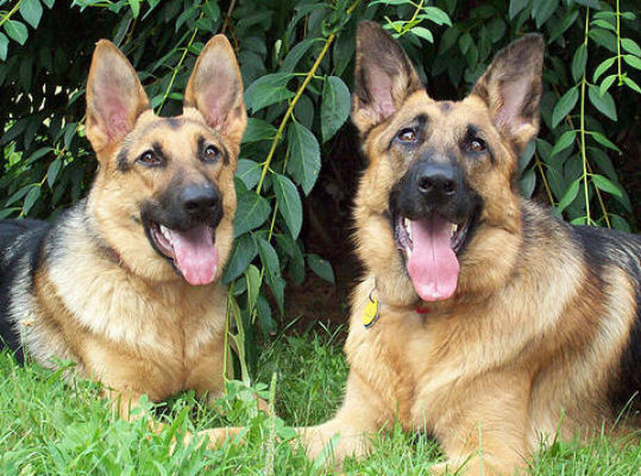 No. 2 in Houston: German Shepherd Photo: German Shepherd Central, Flickr Creative Commons