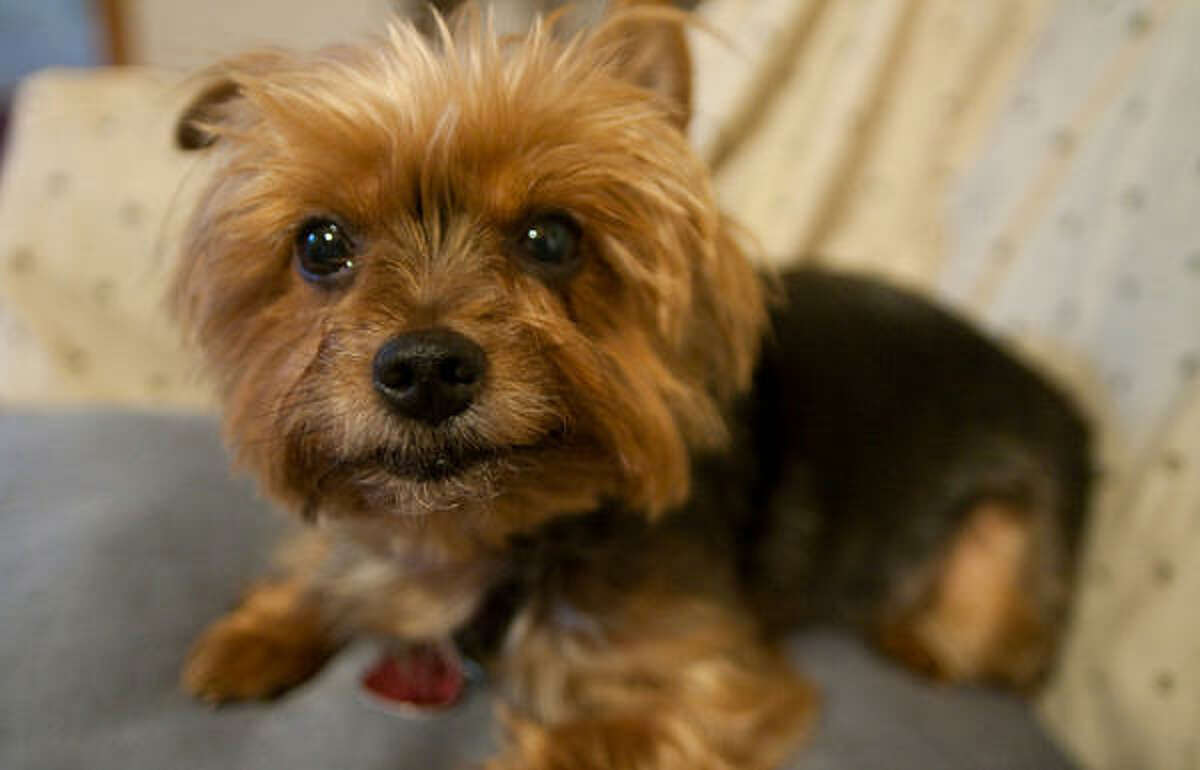 No. 4 in Houston: Yorkshire Terrier