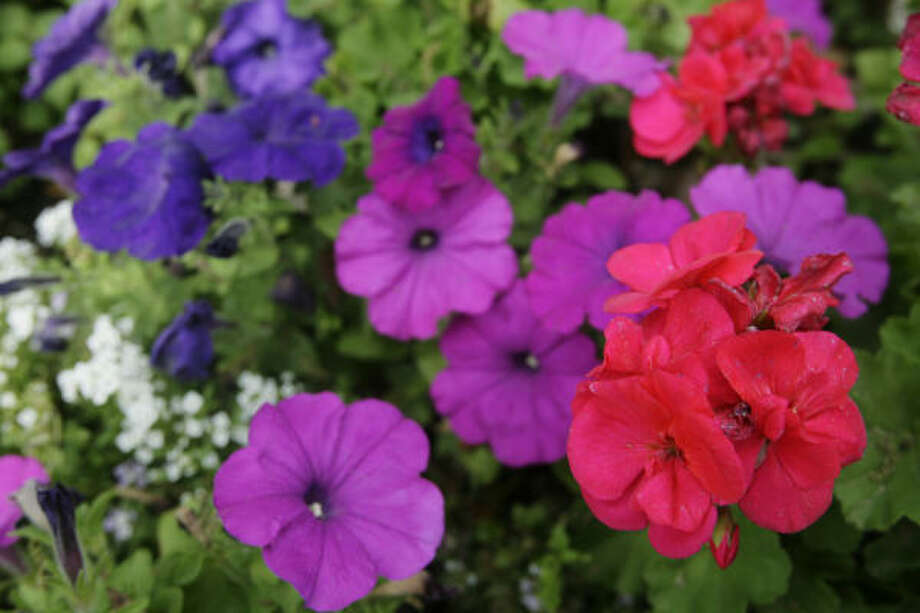 Petunias and Geraniums: Cover  More: Freeze Preparation Guide| HoustonGrows.com Photo: Eric Kayne, Chronicle