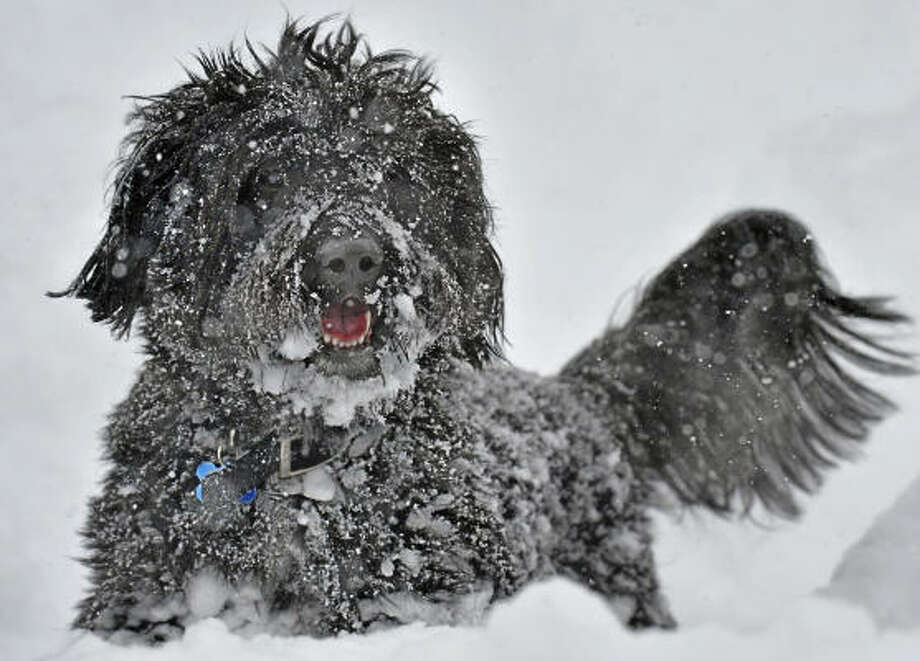 A Portuguese Water Dog named Zephyr tries to navigate the deep snow while playing with it's owner, Joe Stamp, during a winter storm in Hartford, Conn. Photo: Jessica Hill, AP