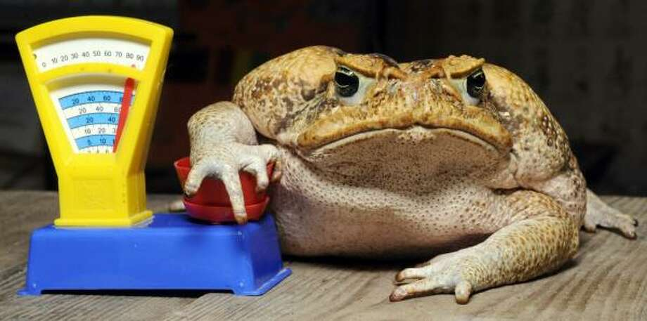 Cane toad Agathe sits on a toy balance during an inventory at the zoo in Hanover, central Germany. All habitants of the zoo are to be counted, weighed and measured during the week-long inventory. Agathe has a weight of 1850 grams. Photo: HOLGER HOLLEMANN, AFP/Getty Images