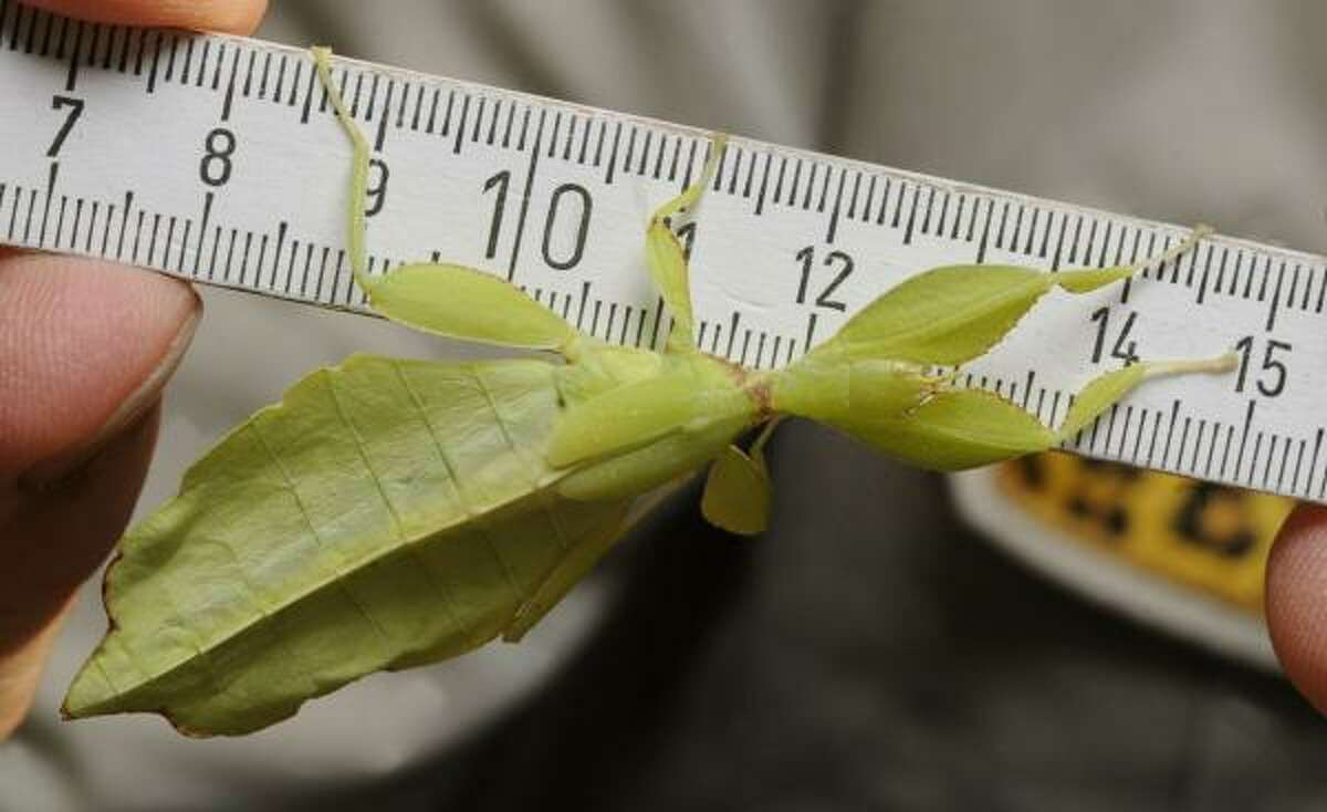 A walking leaf from the Phylliidae family measures up at the zoo in Hanover, Germany.