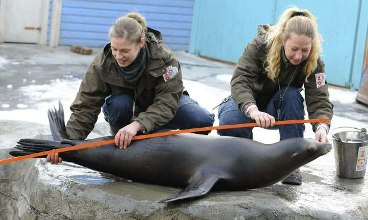 Sea lion Pam is being measured by keepers Wiebke Duggen, left, and Stefanie Leitner at the zoo in Hanover, Germany.