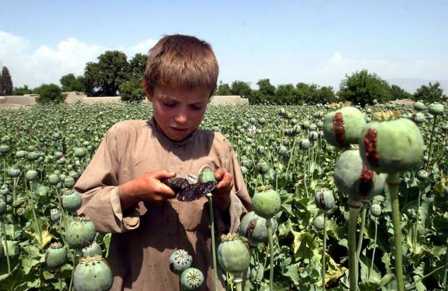 An Afghan boy collects resin from opium poppies east of Kabul during last year's harvest. Taliban fighters tax opium farmers Photo: RAHMAT GUL, AP FILE