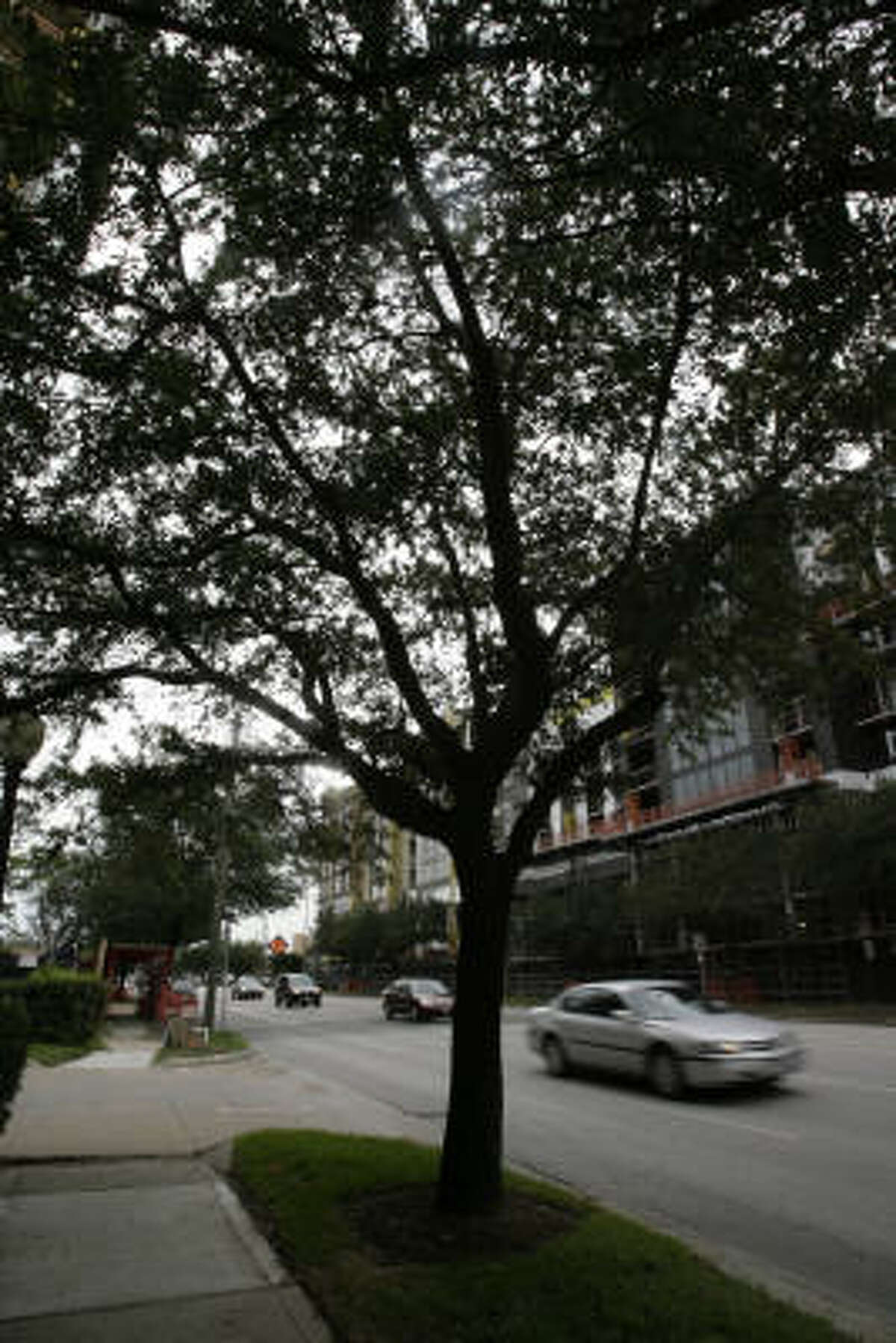 Live oaks along Kirby Drive near Westheimer soon may no longer be part of the scenery. The trees are scheduled to be removed because of construction.
