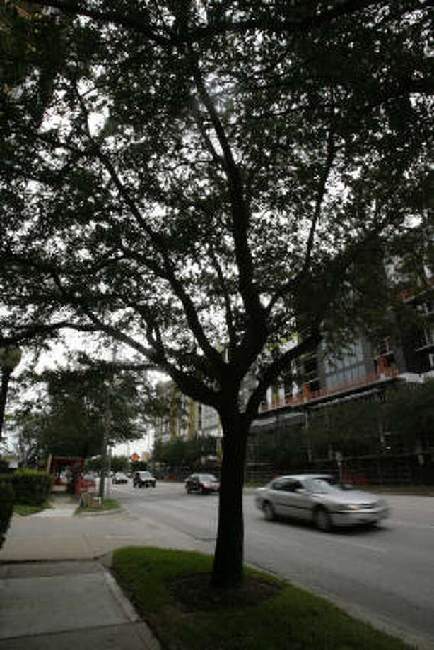 Live oaks along Kirby Drive near Westheimer soon may no longer be part of the scenery. The trees are scheduled to be removed because of construction. Photo: Julio Cortez, Houston Chronicle
