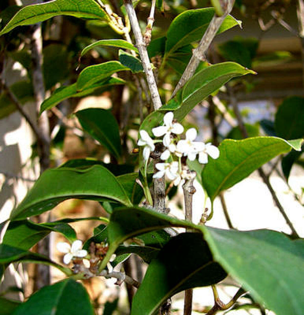 Tiny blooms of sweet olive permeate the garden with a delicate fragrance. The evergreen shrub, which can also be grown as a small tree, blooms throughout the year in response to a change in wet and dry periods.