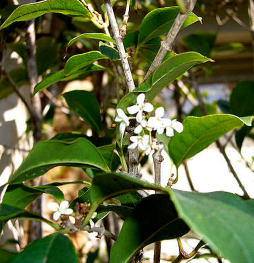 Tiny blooms of sweet olive permeate the garden with a delicate fragrance.  The evergreen shrub, which can also be grown as a small tree, blooms throughout the year in response to a change in wet and dry periods. Photo: SUZY FISCHER, URBAN HARVEST
