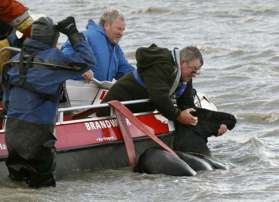 Workers try to save a horse that was stranded when a fierce storm struck the coastal area. About 100 horses were trapped in the seawater, pushed by storm surge into wilderness outside the town dikes. Photo: Cor De Kock, REUTERS