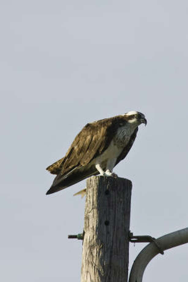 Ospreys' white heads and 6-foot wingspans remind watchers of eagles. Photo: Kathy Adams Clark