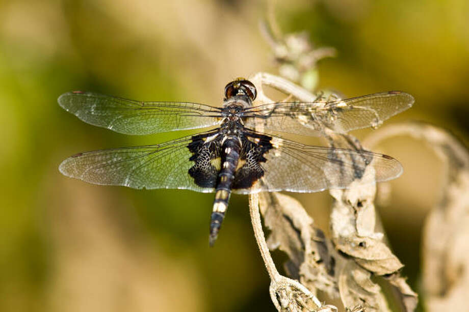 Dragonflies come in all colors.  This black saddlebags perches on a twig along the edge of a pond. Photo: Kathy Adams Clark