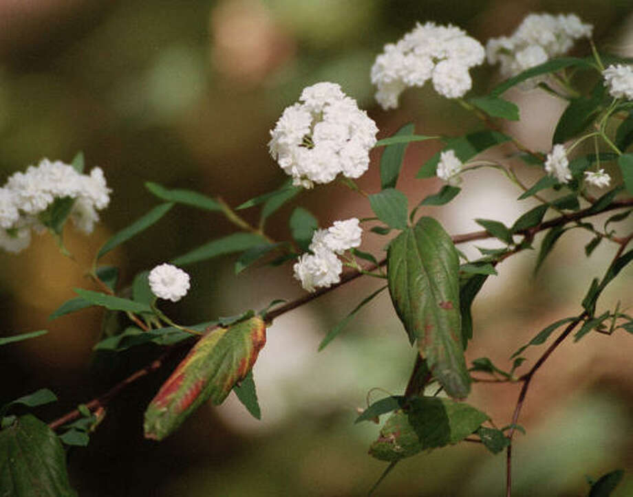 Spirea prunifolia Photo: Steve Campbell, Chronicle