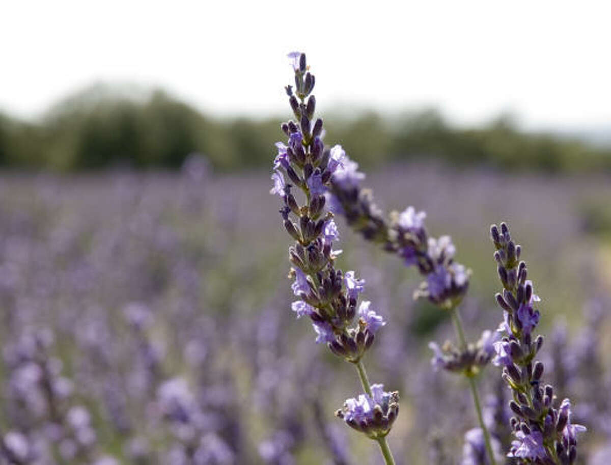 2. Smell Lavender -- Blanco's lush lavender fields fill the country air with its fresh scent. Flowers start to bloom in mid-May, making Blanco the Lavender Capitol of Texas. In harvest time, the community celebrates with the Blanco Lavender Festival in June.