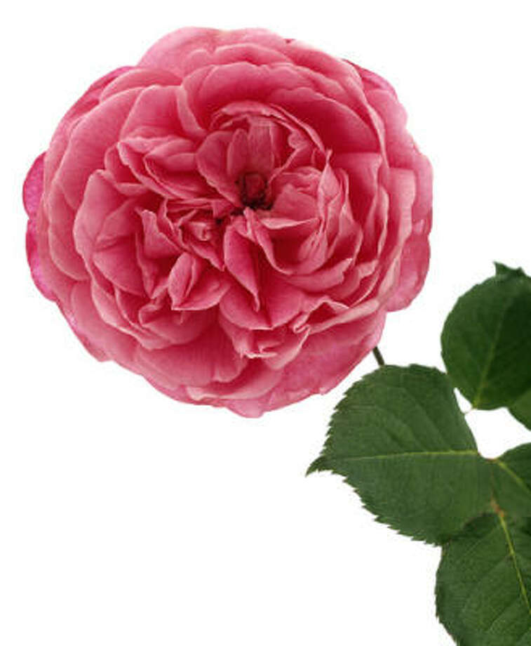 MRS. B.R. CANT: This tea rose, introduced in 1901, honors the wife of its creator. It's among the many historic roses featured in Molly and Don Glentzer's new book. Photo: Don Glentzer