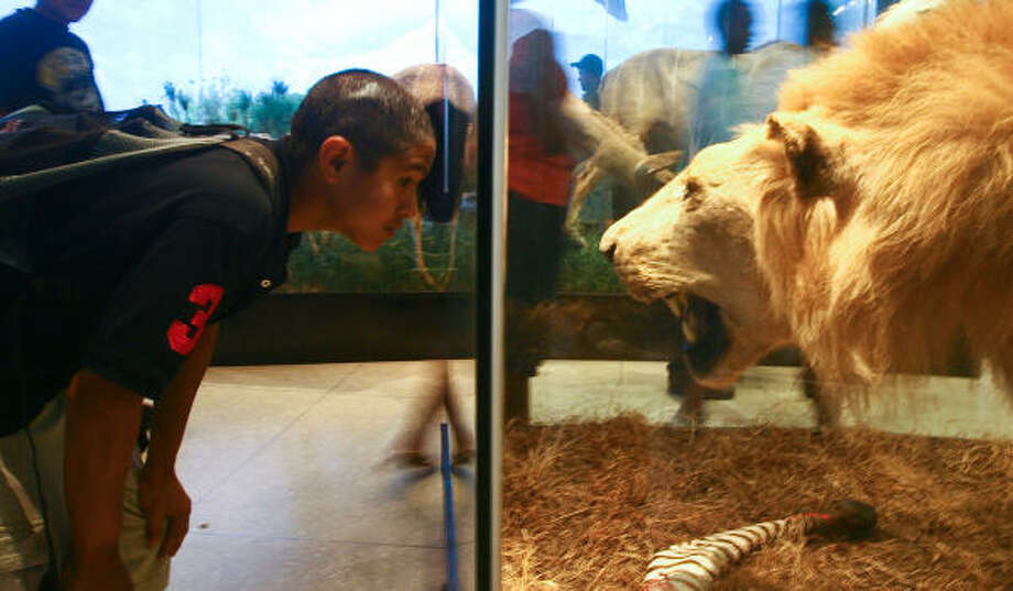 Manaure Alva examines a stuffed male lion at the Houston Museum of Natural Science during a summer program organized by the Harris County Department of Education's Cooperative for After-School Enrichment. Photo: Evan R.A. White, Chronicle