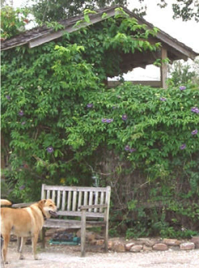 Vines, such as this passion vine, are aggressive by nature and quickly cover a garden structure to create shade. Photo: Suzy Fischer, Urban Harvest