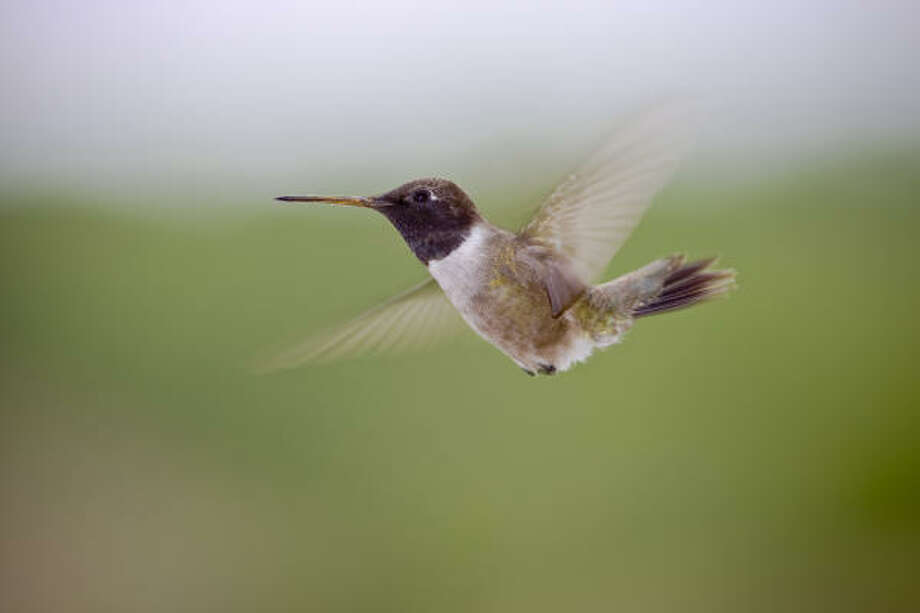 Black-chinned hummingbirds are heading to the Hill Country from their wintering grounds in Mexico and along the Texas coast. Photo: Kathy Adams Clark