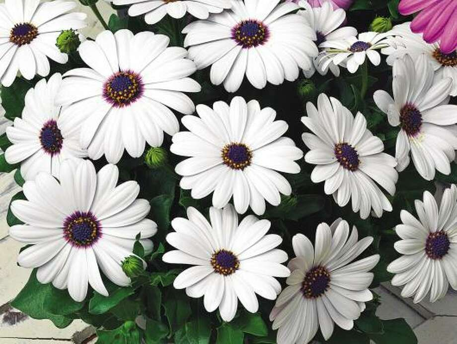 'Asti White' osteospermum, the first white cape daisy propagated from seed. Photo: All-America Selections