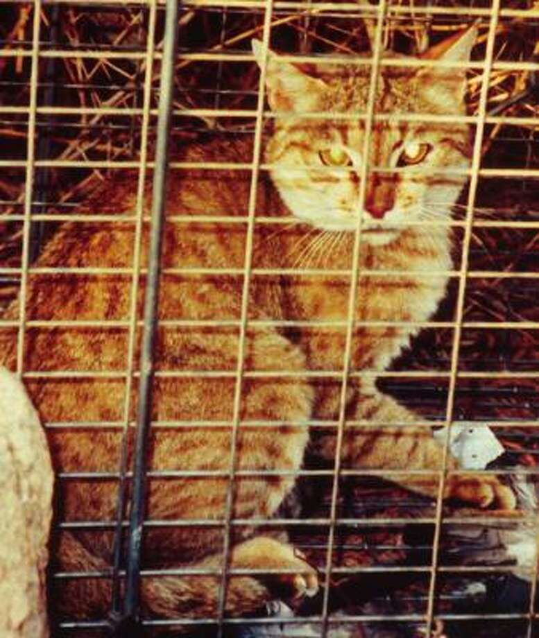 A wildcat is trapped for study in Israel as part of the journal Science's research into domesticated cats. Photo: SCIENCE