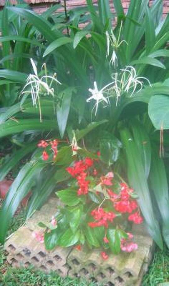 Giant white spider lilies (hymenocallis) love low spots in the landscape, but begonias (foreground) need the added drainage from this raised section. Photo: BRENDA BEUST SMITH