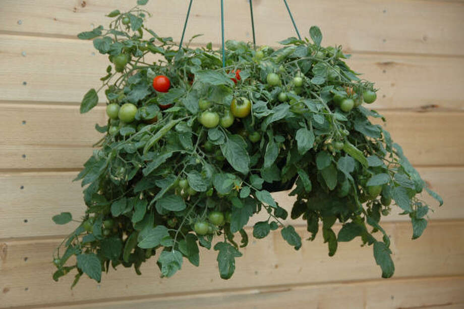 Hanging basket overflowing with 'Tumbling Tom' tomatoes. Photo: MCT