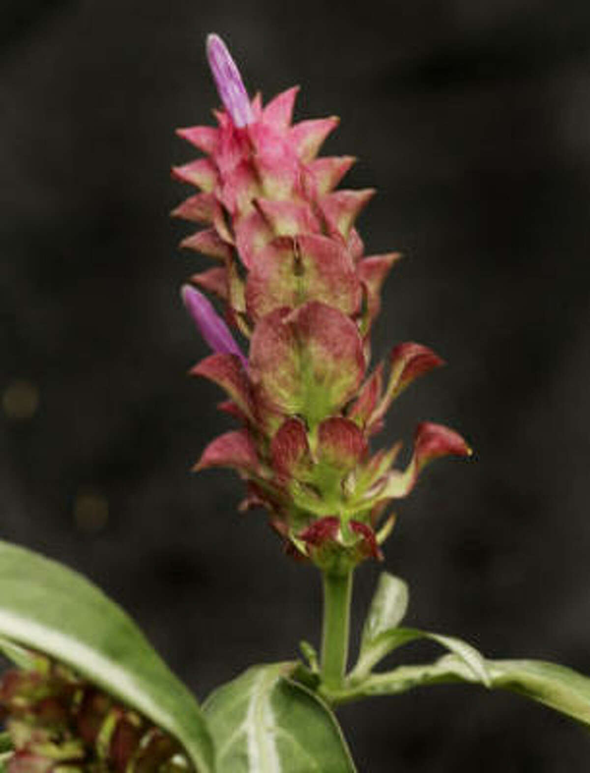Rose pinecone plant.